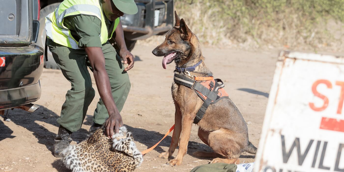 dog-handler-leopard-pelt