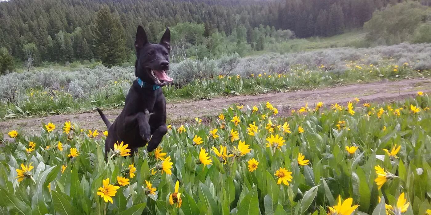 dog-jumping-in-flowers